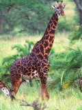 Giraffe, Tanzania Photographic Print by David Northcott
