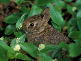 Immature Cottontail Rabbit, New York, USA Photographic Print by Art Wolfe