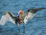Reddish Egret Fishing in Shallow Water, Ding Darling NWR, Sanibel Island, Florida, USA Photographic Print by Charles Sleicher