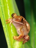 Brown Big Eye Tree Frog, Native to Tanzania Photographic Print by David Northcott