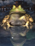 American Bullfrog, Native to USA Photographic Print by David Northcott