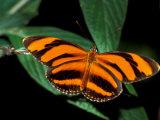 Butterfly, Venezuela Photographic Print by Art Wolfe