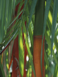 Brightly Colored Orange and Green Bamboo Stalks, Dominical, Costa Rica Fotografie-Druck von Cindy Miller Hopkins