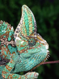 Veiled Chameleon, Native to Yemen Photographic Print by David Northcott