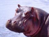 Large Hippo Portrait, Tanzania Fotografisk tryk af David Northcott