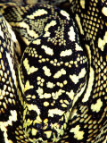 Diamond Python Close-up, Native to Australia Photographic Print by David Northcott