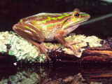Golden Bell Frog, Native to Australia Photographic Print by David Northcott