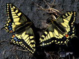 Old World Swallowtail Butterfly, Arctic National Wildlife Refuge, Alaska, USA Photographic Print by Art Wolfe