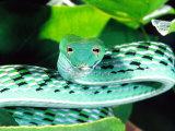 Long-nose Vine Snake, Native to SE Asia Fotografisk tryk af David Northcott