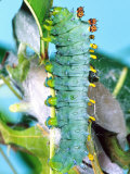 Cercropia Moth Caterpillar, Eastern USA Photographie par David Northcott