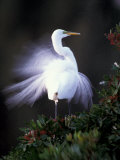 Egret Breeding Plumage, Venice, Florida, USA Photographic Print by Art Wolfe