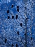 Bald Eagle Roosting in Cottonwoods, Chilkat River, Alaska, USA 写真プリント : アート・ウルフ