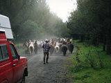 Herding llamas in Ecuador Photographic Print by Charles Sleicher