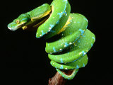 Green Tree Python, Native to New Guinea Lmina fotogrfica por David Northcott