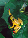 Hieroglyphic Reed Frog, Native to the Camerouns, Africa Lámina fotográfica por David Northcott