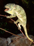 Flapneck Chameleon, Native to Southern Africa Photographic Print by David Northcott