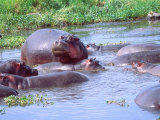 Group of Hippos in a Small Water Hole, Tanzania Photographic Print by David Northcott