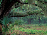 Live Oaks Covered in Spanish Moss and Ferns, Cumberland Island, Georgia, USA Photographic Print by Art Wolfe