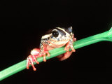 Raven Eyed Banana Frog, Native to East Africa Photographic Print by David Northcott
