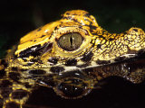 African Dwarf Crocodile Hatchlings, Native to Africa Photographic Print by David Northcott