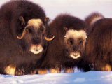 Muskox, Arctic Circle, Alaska, USA Photographic Print by Art Wolfe