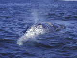 Gray Whale Back and Blow Hole, Baja, San Ignacio Bay, Mexico Photographic Print by Cindy Miller Hopkins