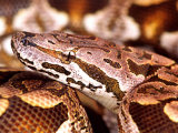 Dumeril's Boa, Native to Madagascar Photographic Print by David Northcott