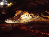 American Alligator, Native to South Eastern USA Photographic Print by David Northcott