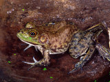 American Bullfrog with 6 Legs, Native to USA Photographic Print by David Northcott