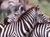 Zebras at Rest, Tanzania Photographic Print by David Northcott