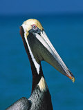 Male Brown Pelican in Breeding Plumage, Sanibel Island, Florida, USA Photographic Print by Charles Sleicher