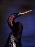 Anhinga, Snake Bird in Breeding Plumage, Everglades National Park, Florida, USA Photographic Print by Charles Sleicher