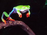 Red Eye Tree Frog Jumping, Native to Central America Photographic Print by David Northcott