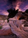 Western Juniper, Yosemite National Park, California, USA Fotografie-Druck von Art Wolfe
