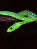 East African Green Mamba Photographic Print by David Northcott