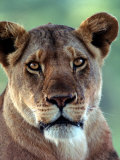 Lioness Photographic Print by Charles Sleicher