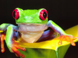 Red Eye Tree Frog on a Calla Lily, Native to Central America Photographic Print by David Northcott