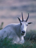 Mountain Goat, Glacier National Park, Montana, USA Photographic Print by Art Wolfe