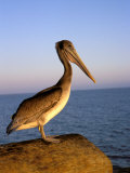 Pelican at Sunset, Sterns Wharf, Santa Barbara, California, USA Photographic Print by Savanah Stewart