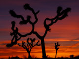 Joshua Trees at Sunrise, Mojave Desert, Joshua Tree National Monument, California, USA Lámina fotográfica por Art Wolfe