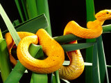 Golden Eyelash Viper Photographic Print by David Northcott