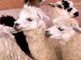 Close-up of Llamas, Cuzco, Peru Fotografie-Druck von Bill Bachmann
