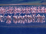 Lesser Flamingo's, Tanzania Photographic Print by David Northcott