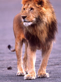 Male Lion on Dry Lake Bed, Tanzania Photographic Print by David Northcott