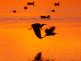 Great Blue Herons Flying at Sunset, Ding Darling National Wildlife Refuge, Florida, USA Photographic Print by Charles Sleicher