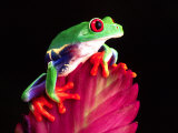 Red Eye Tree Frog on Bromeliad, Native to Central America Lámina fotográfica por David Northcott
