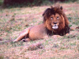 Male Lion After a Large Meal, Tanzania Photographic Print by David Northcott