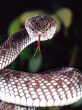 Mangrove Pit Viper, Native to Eastern India, Southern Burma Photographic Print by David Northcott