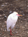 Cattle Egret, Tanzania Photographic Print by David Northcott
