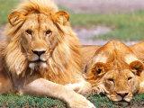 Pair of African Lions, Tanzania Fotografie-Druck von David Northcott